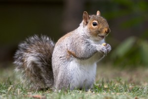 eastern_gray_squirrel_20_by_easterngraysquirrel-d5q2kvs (1)