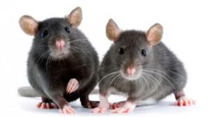 mice213123